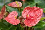 Flamingoblume (Anthurium spec.) Anthurie