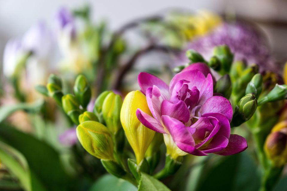 Freesie (Freesia Spec.) Blüte