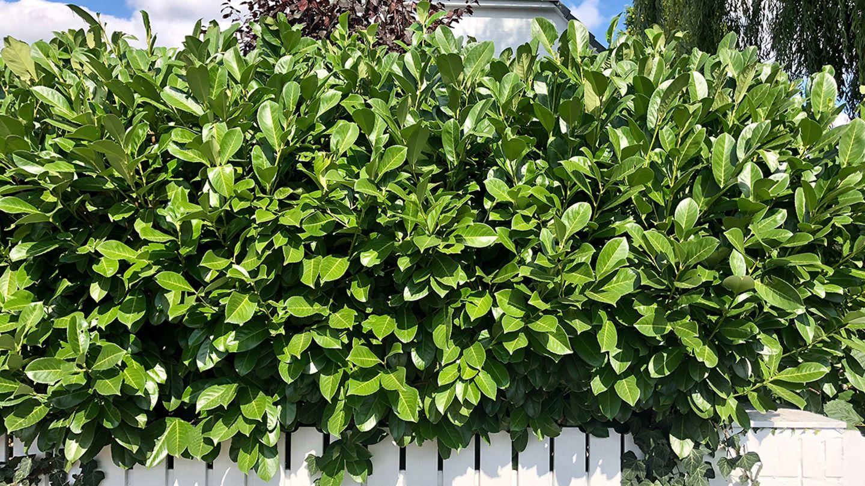 Kirschlorbeerhecke Prunus Lusitanica hier günstig kaufen