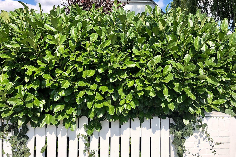 Kirschlorbeer Hecke (Prunus laurocerasus)