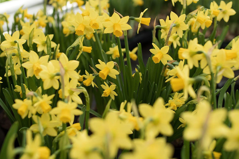 Mini-Narzissen (Narcissus), Osterglocke gelb