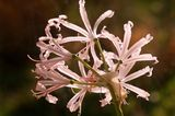 Nerine / Guernseylilie (Nerine bowdenii)