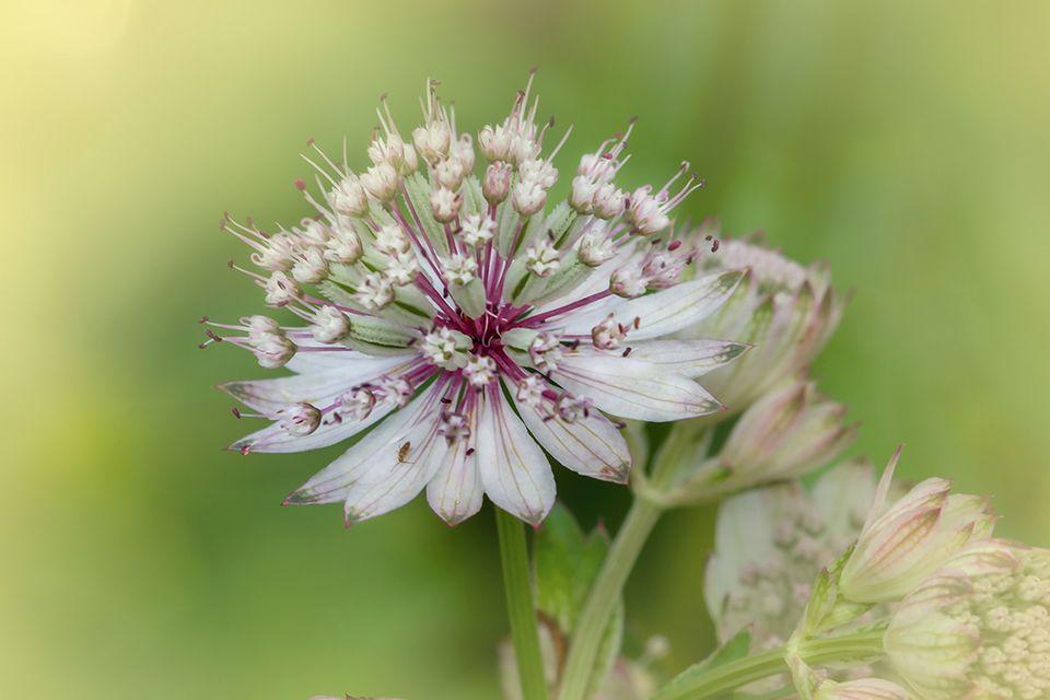 Sterndolde (Astrantia spec.) Blüte