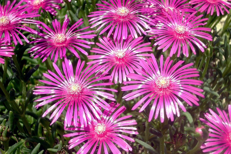 Mittagsblume (Lampranthus u.a.) violett