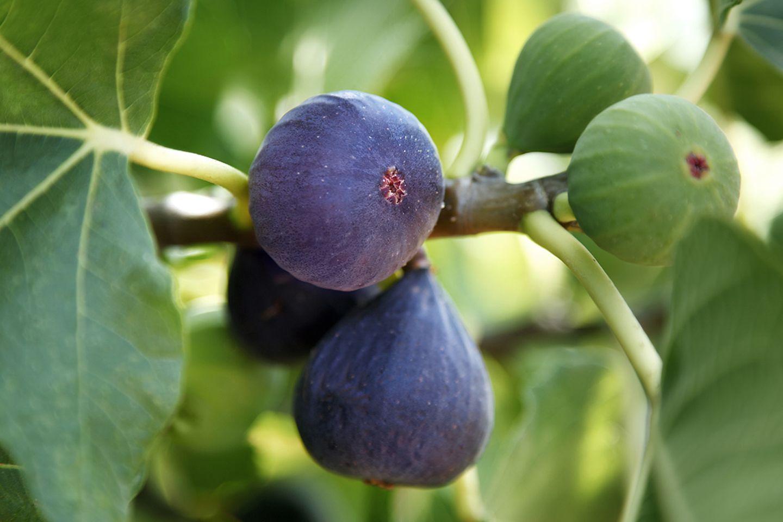 Feige (Ficus carica) reif lila