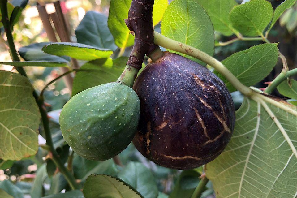 Feige (Ficus carica) reif und unreif