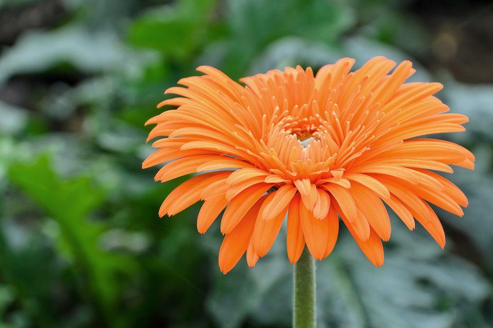 Gerbera (Gerbera spec.) Bluete orange