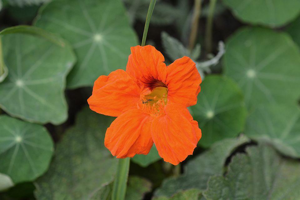 Kapuzinerkresse (Tropaeolum majus) Blüte orange