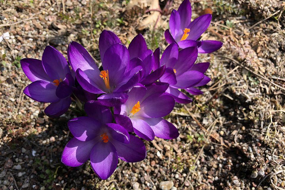 Krokus (Crocus spec.) dunkelviolett