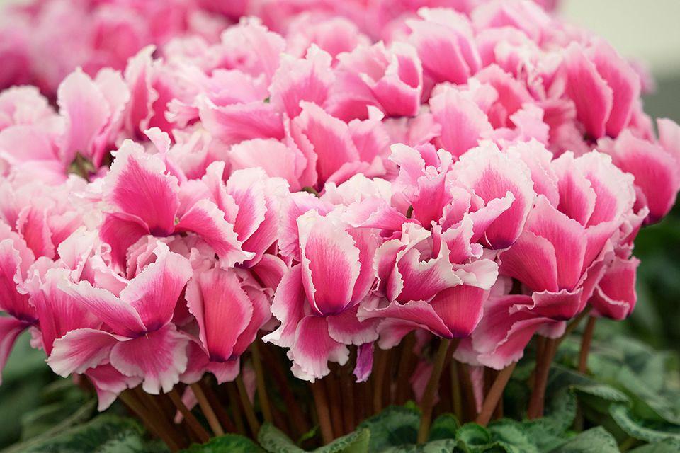 Zimmer-Alpenveilchen (Cyclamen persicum) pink