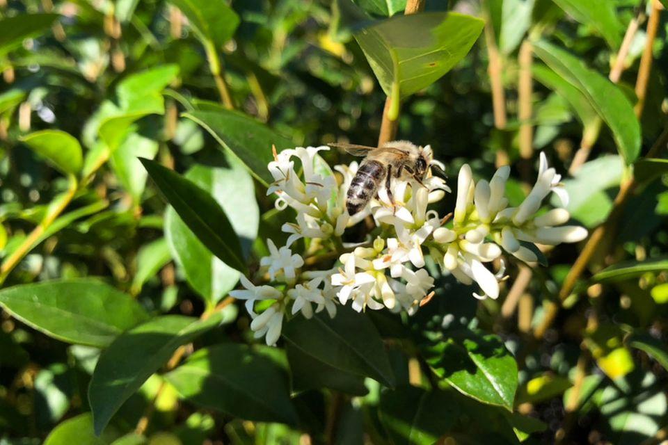 Liguster (Ligustrum spec.) Blüte mit Biene