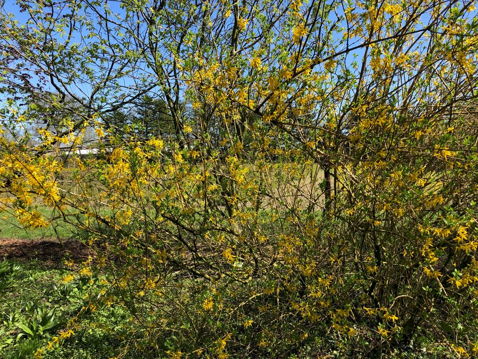 Forsythie (Forsythia x intermedia) Hecke