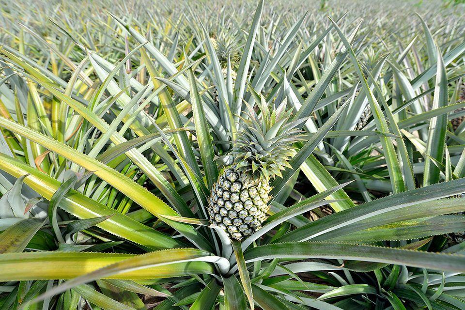 Ananas (Ananas comosus) Pflanzen