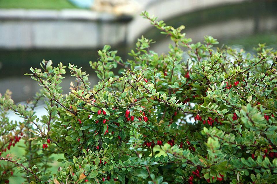 Berberitze (Berberis vulgaris) Sauerdorn