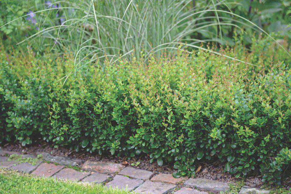 Sauerdornberberitze (Berberis buxifolia Nana)