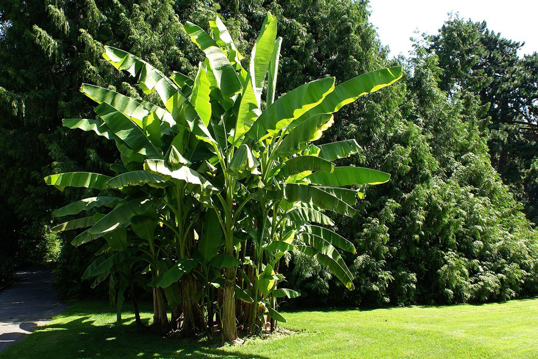 Bananenpflanze (Musa basjoo)