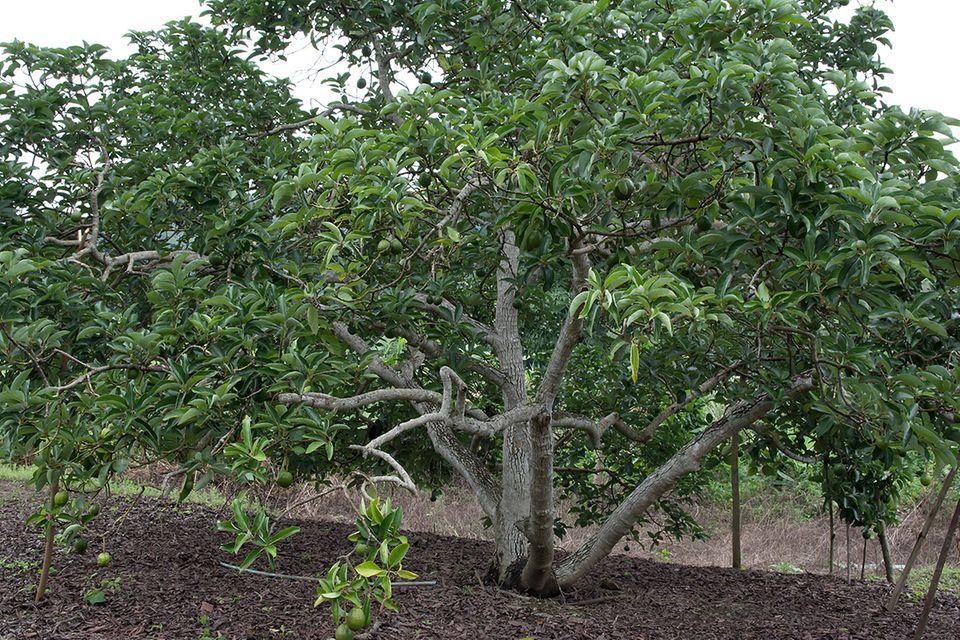 Avocado (Persea americana) Baum