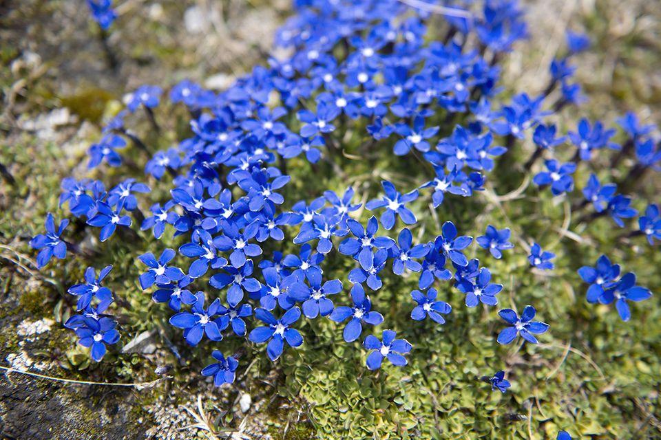 Enzian (Gentiana spec.) blau