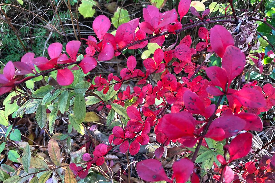 Berberitze: Berberis vulgaris