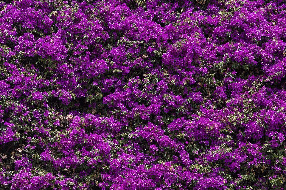 Bougainvillea, Wunderblume, Drillingsblume (Bougainvillea)