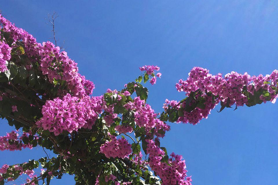 Bougainvillea, Wunderblume, Drillingsblume (Bougainvillea) violett