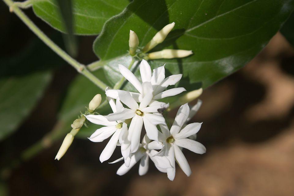 Jasmin (Jasminum spec.) Blüte