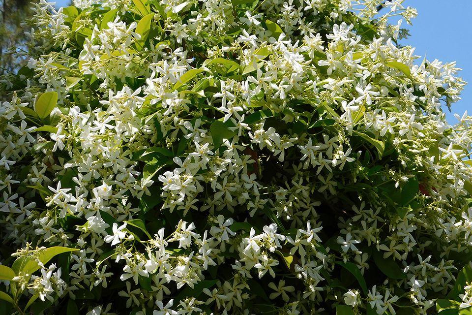 Jasmin (Jasminum spec.) Baum