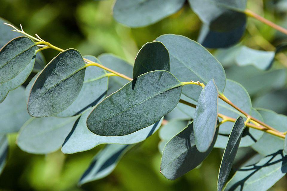 Eukalyptus (Eucalyptus spec.) Zweig