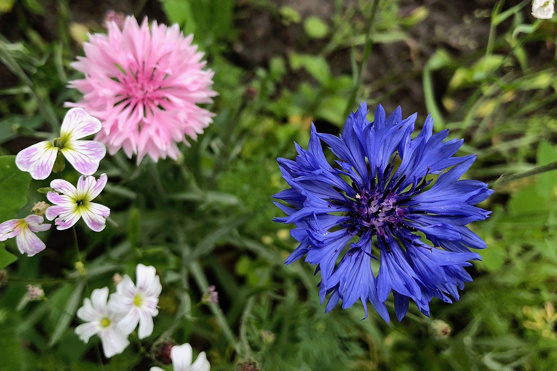 Kornblume (Cyanus segetum, Centaurea cyanus) rosa, blau