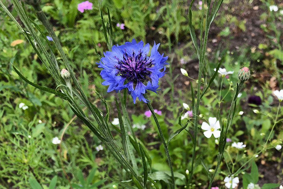 Kornblume (Cyanus segetum, Centaurea cyanus) blau
