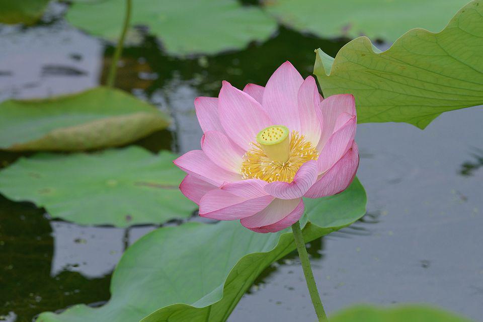 Lotus Lotos (Nelumbo nucifera) Blüte