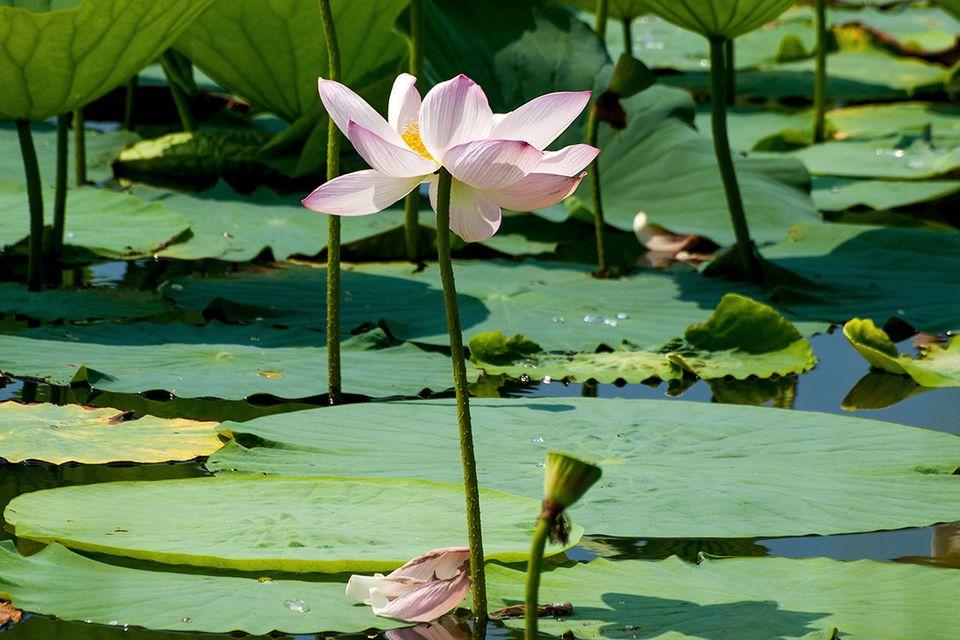 Lotus Lotos (Nelumbo nucifera)