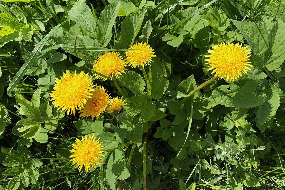 Löwenzahn (Taraxacum officinale) Blüte