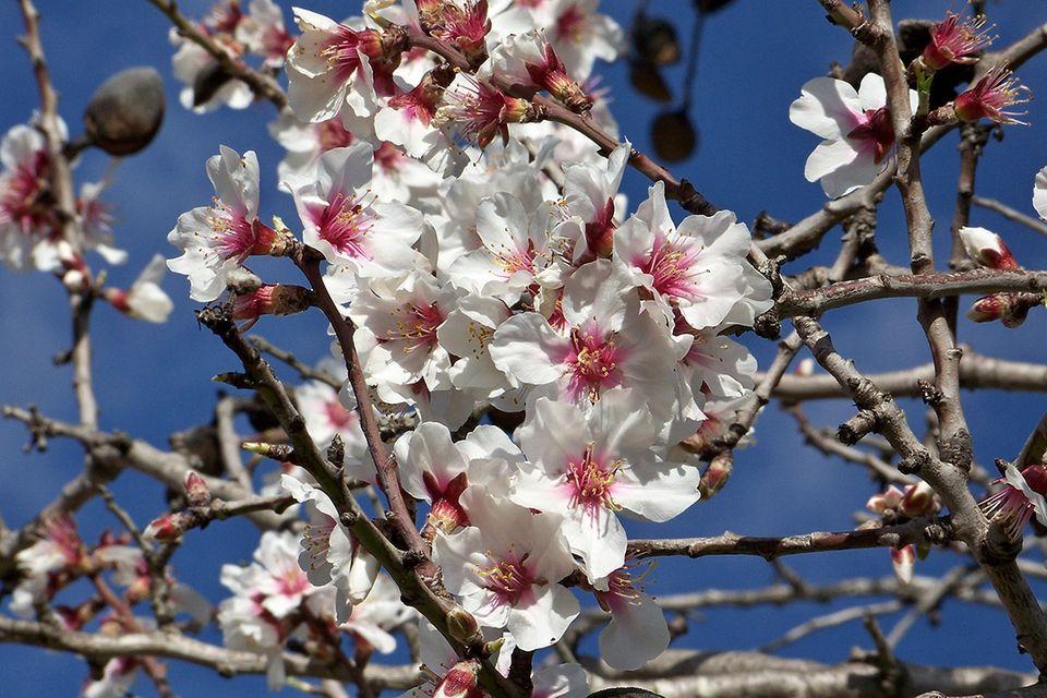 Mandel, Mandelbaum (Prunus dulcis) Blüte