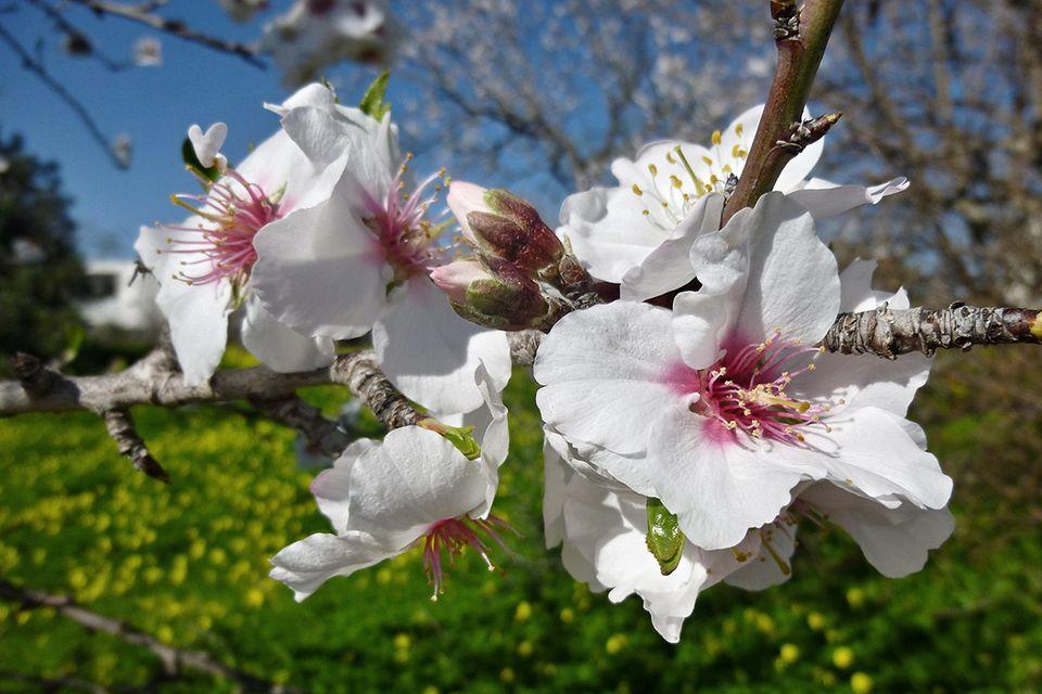 Mandel, Mandelbaum (Prunus dulcis) Zweig mit Blüte