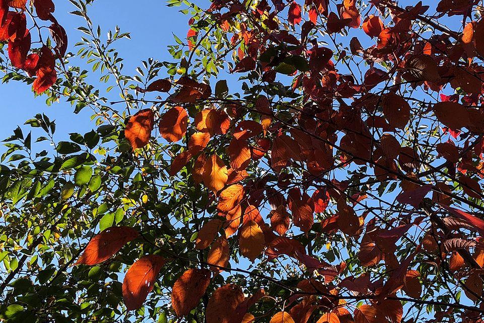 buche (Fagus sylvatica L. und Fagus spec.) mit roter Färbung