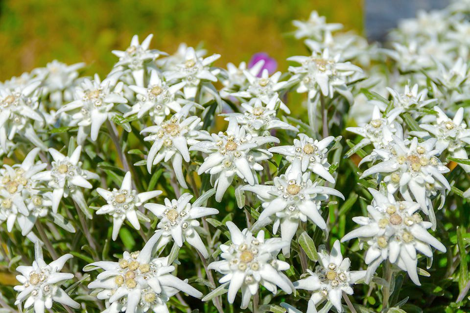 Edelweiss (Leontopodium spec.)