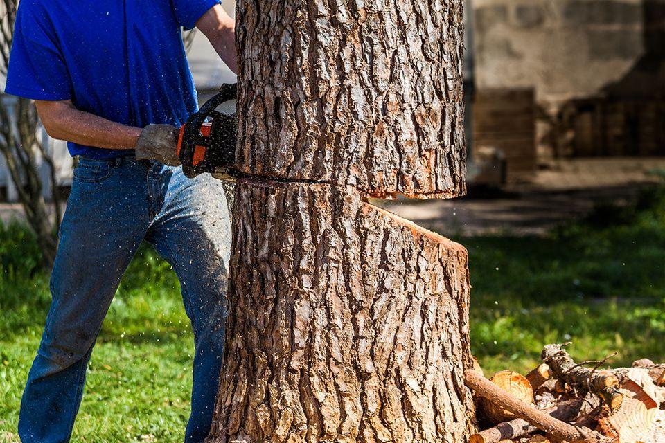 Baum fällen mit drei Schnitten
