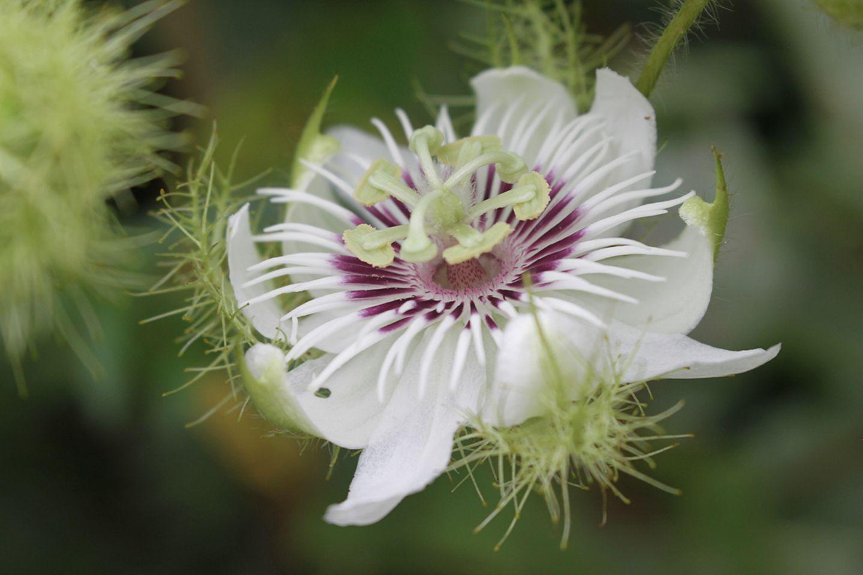 Passionsblume (Passiflora spec.) weiß