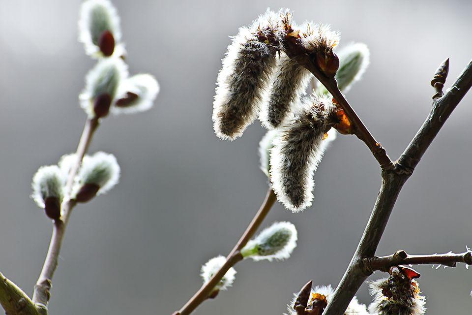 Weide (Salix spec.)