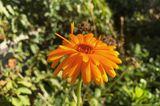 Ringelblume Blüte orange