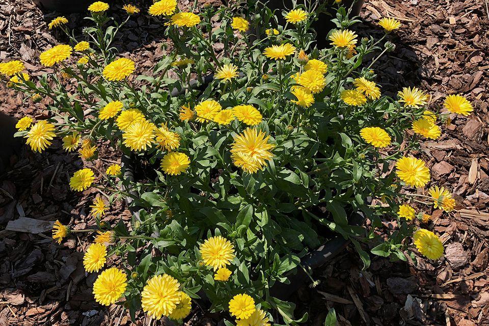 Meeres Ringelblume 'Caleo Yellow'