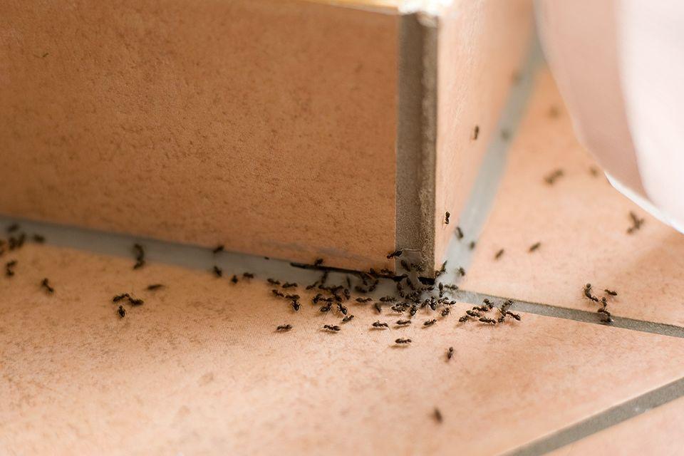 Ameisen gelangen oft auf Nahrungssuche in die Wohnung