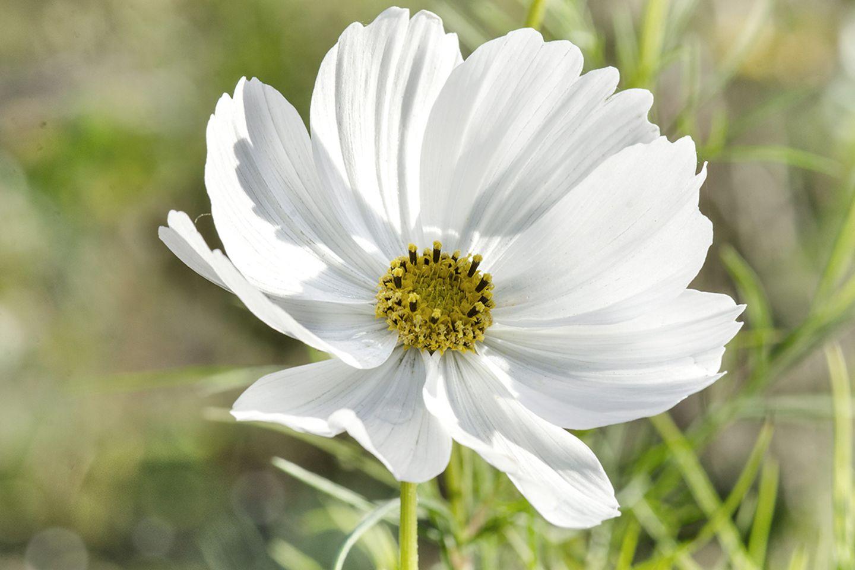 Cosmea, Schmuckkörbchen, Kosmeen (Cosmos bipinnatus) weiße Blüte