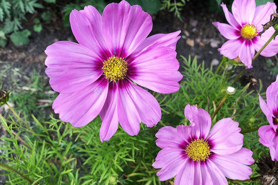 Cosmea, Schmuckkörbchen, Kosmeen (Cosmos bipinnatus) violette Blüte