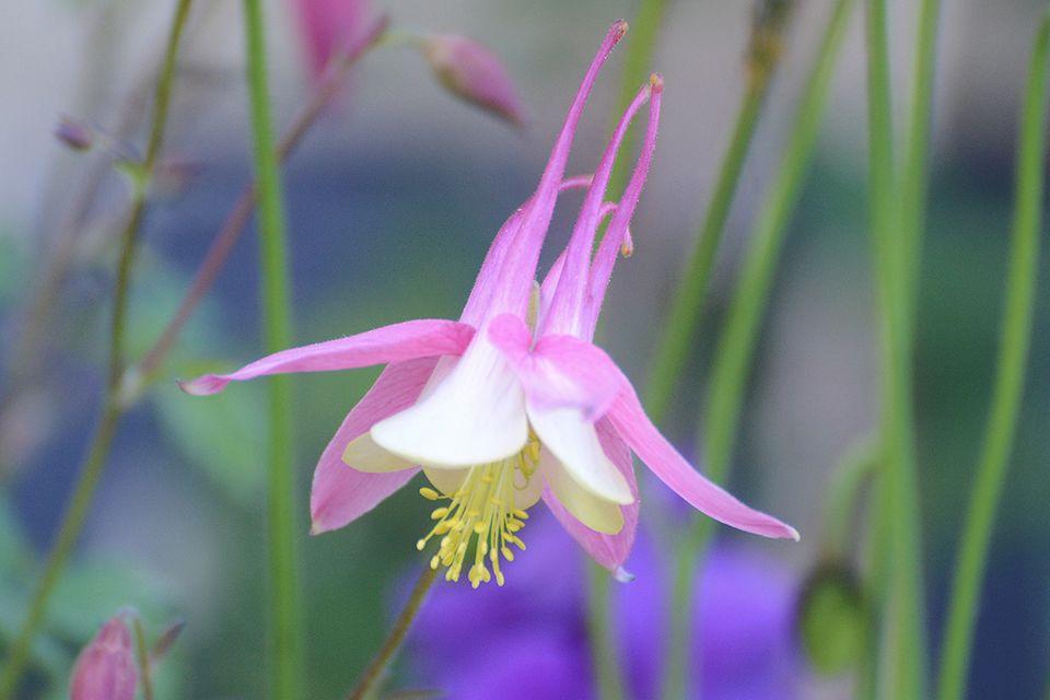 Akelei (Aquilegia spec.) Blüte