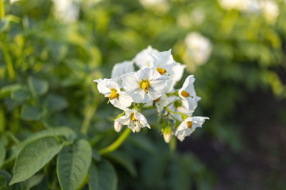 Kartoffel (Solanum tuberosum) Blüte weiß