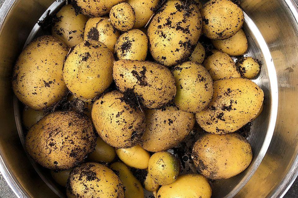 Kartoffel (Solanum tuberosum) frisch geerntet