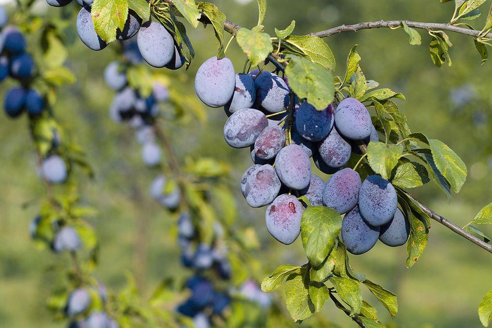 Pflaume (Prunus domestica) Frucht am Zweig