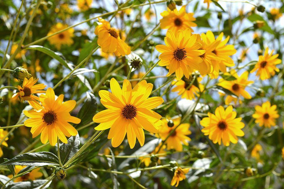 Topinambur (Helianthus tuberosus) gelbe Blüte